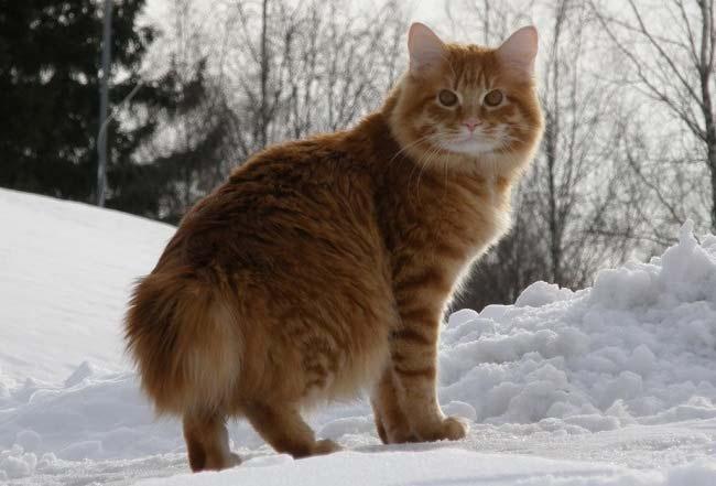 Кот рыжий и пушистый порода