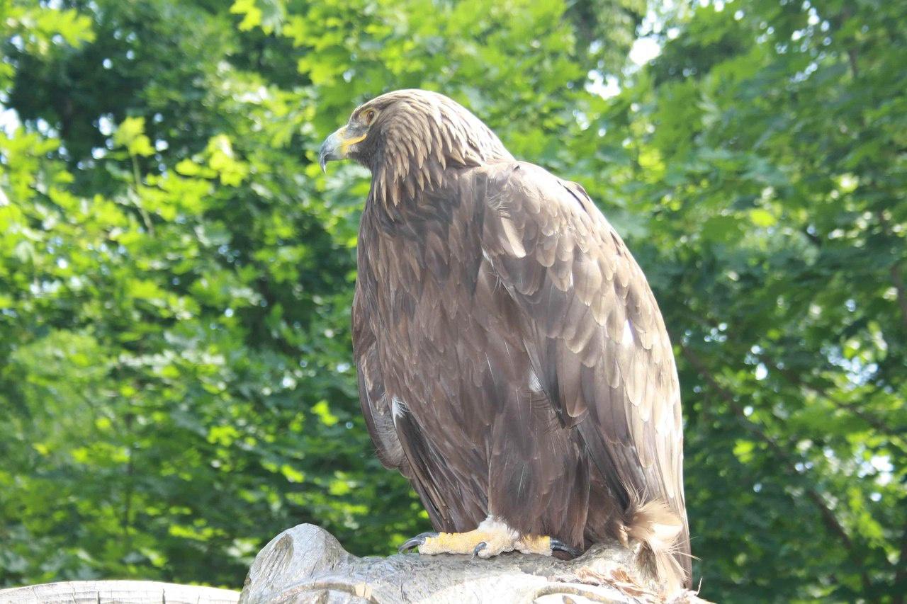 Хищные птицы воронежской области